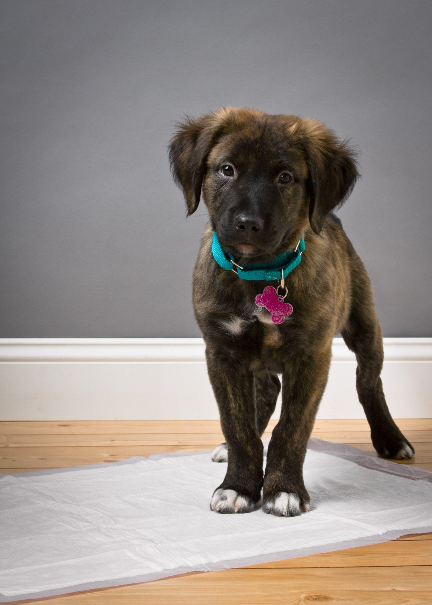 House Training A New Puppy Or Dog Only Hartz Home Protection Dog Pads Are Made With Flash Dry Technology That Instantly T Dog Pads Animal Education New Puppy