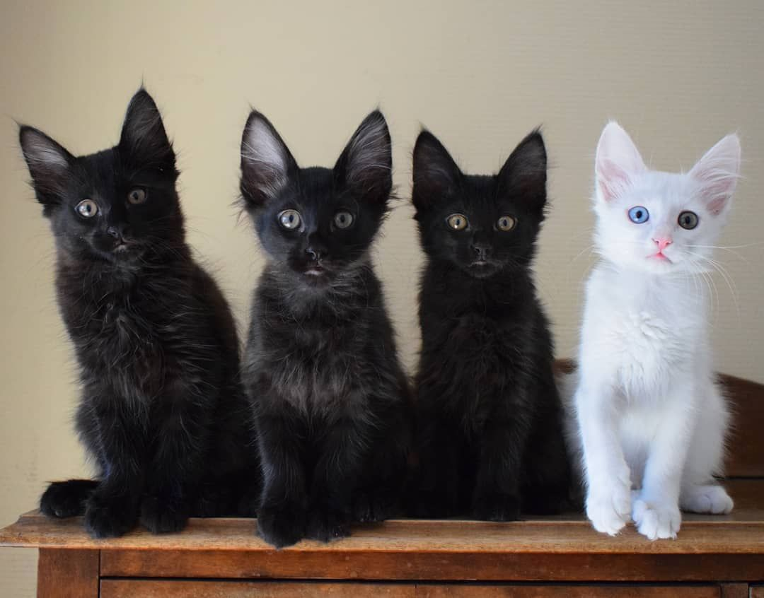 Our First Litter Is Now Official Adeniumcattery Aww Batcat Blackcat Blackkittens Cat Catsofinstagran Cute Cutekitten Familyportrait First Fruitbat