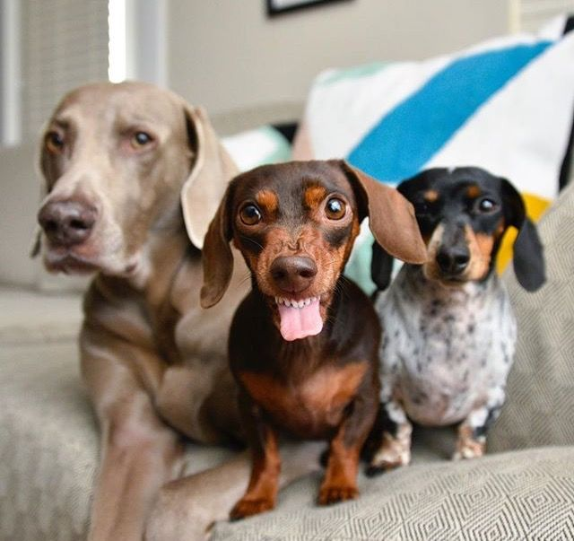 Pin By Molly On Doxie Pups Dog Expressions Dog Friends Weimaraner Puppies