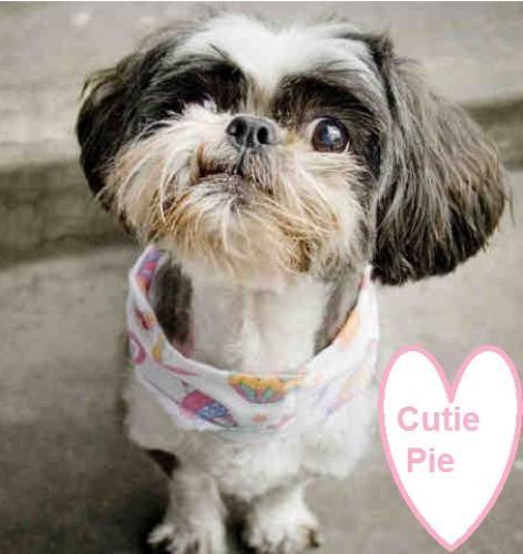 Cutie Pie is an #adoptable Shih Tzu Dog in #Seattle #WASHINGTON