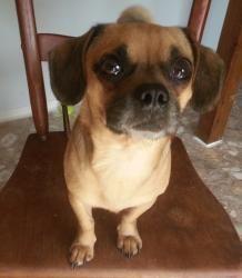 Adopt Mason On Chug Dog Lap Dogs Pugs