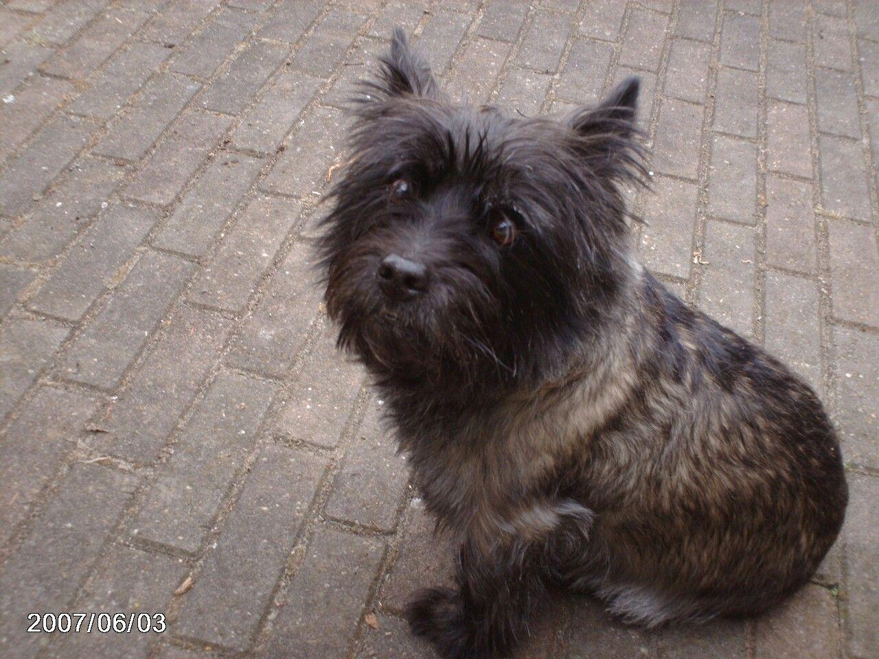 Rakker Dogs Dogs Cairn Terrier Puppies