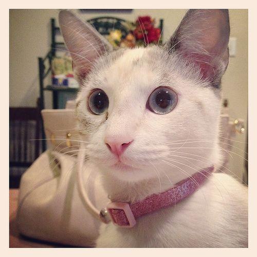 Bella Lilac Point Siamese Cat B71130