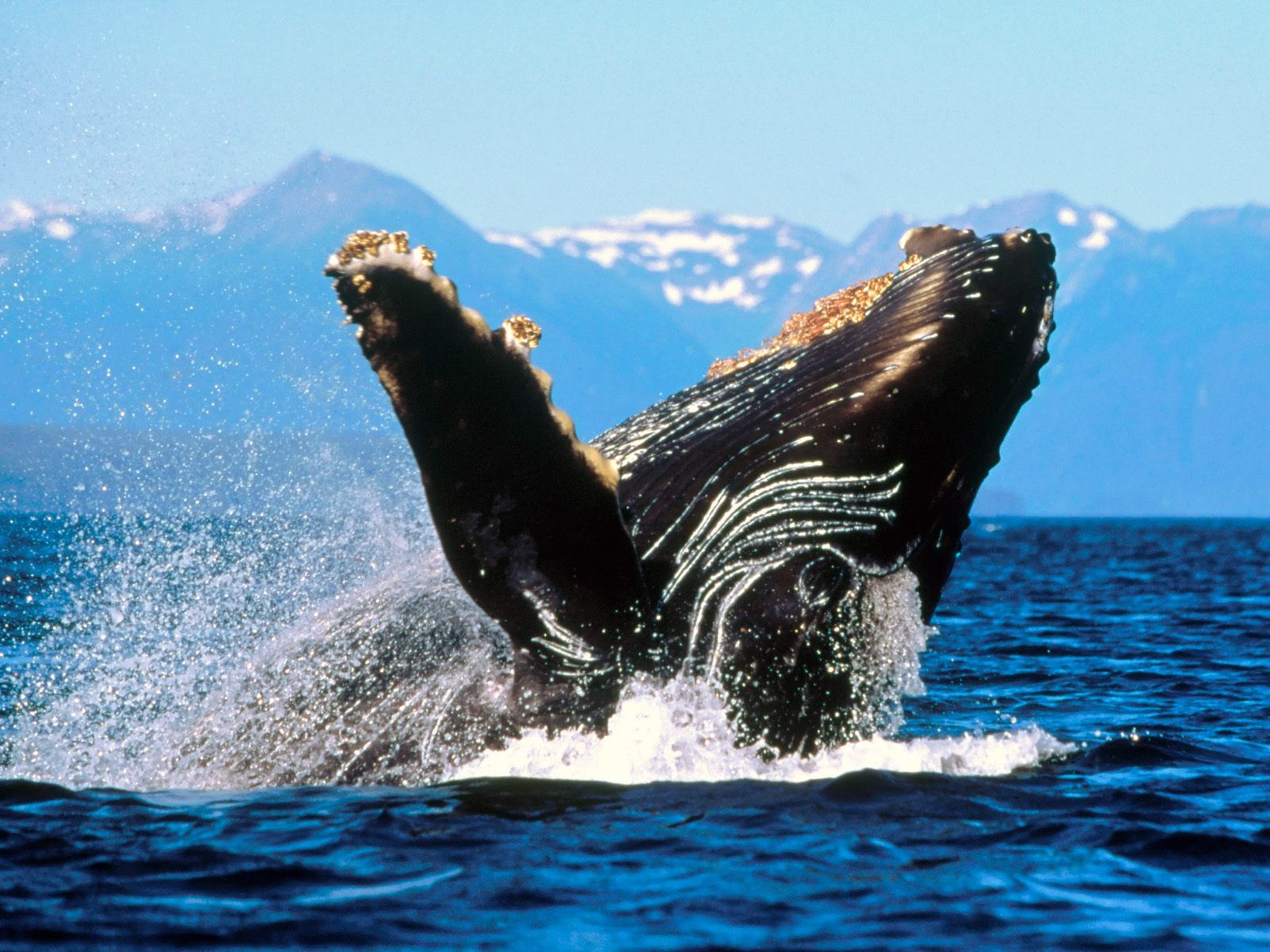 Pin By Billi Clem On Animals Animal Wallpaper Sea Life Wallpaper Whale