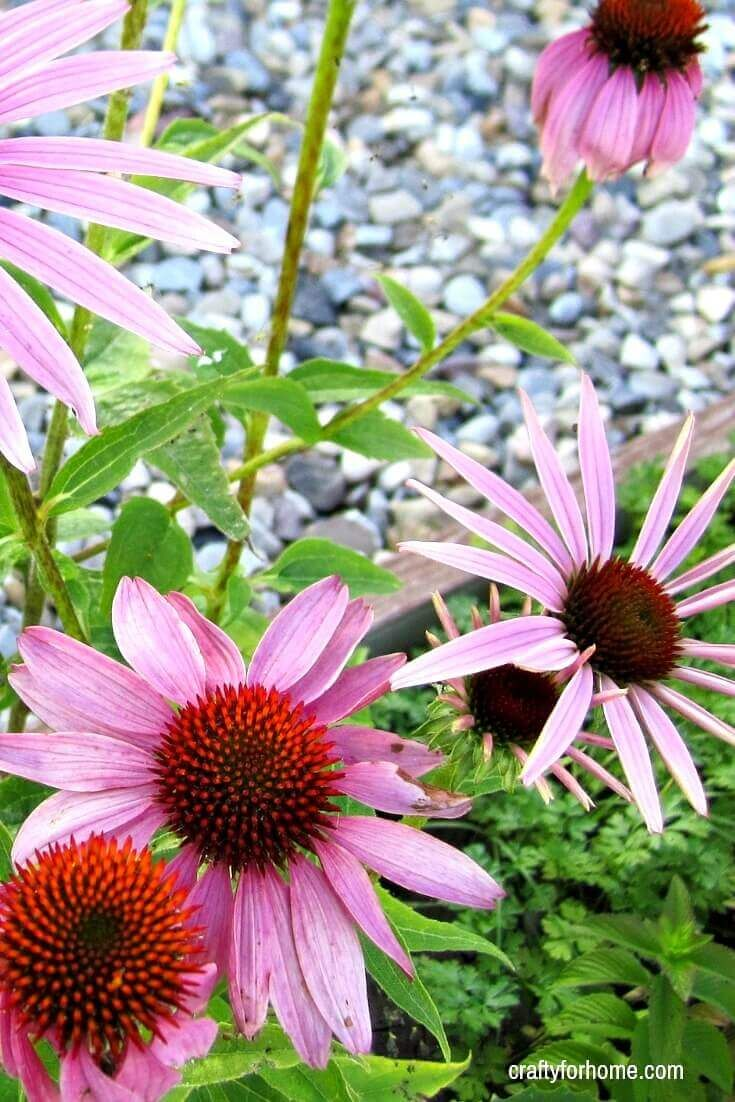 13 easy to grow perennial flower from seed crafty for