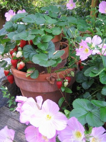 fraisiers en pots jardin fraisier jardins et. Black Bedroom Furniture Sets. Home Design Ideas