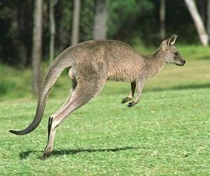 Canguru Macropus Rufogriseus Animais Selvagens Animais