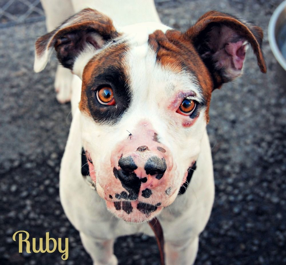 Ruby available at Boxer dogs