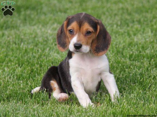Sweet Beagle Puppies!