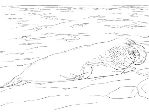 Coloring Elephant Pages Seal 2020 Elephant Seal Coloring