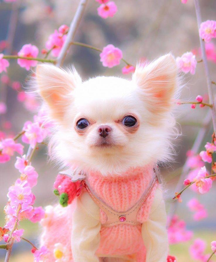What A Beautiful Girl Chihuahua Chihuahua Puppies Baby