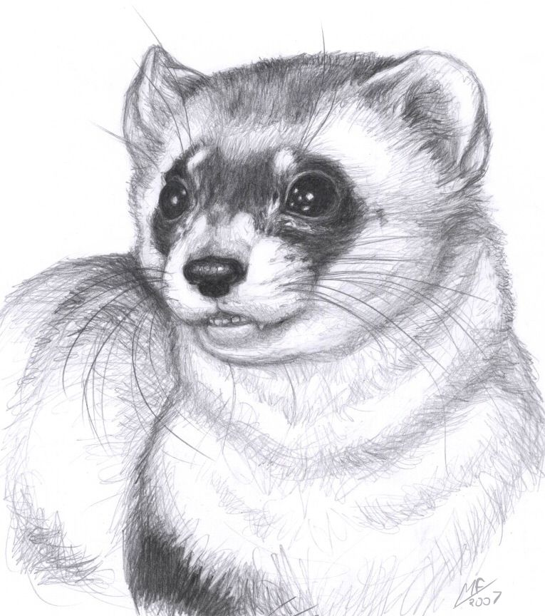 Printable Ferret Coloring Pages Coloring Pages To Print Ferret