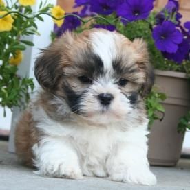 Malshi Maltipoo Maltese Poodle Maltese Shihtzu Puppies For Sale