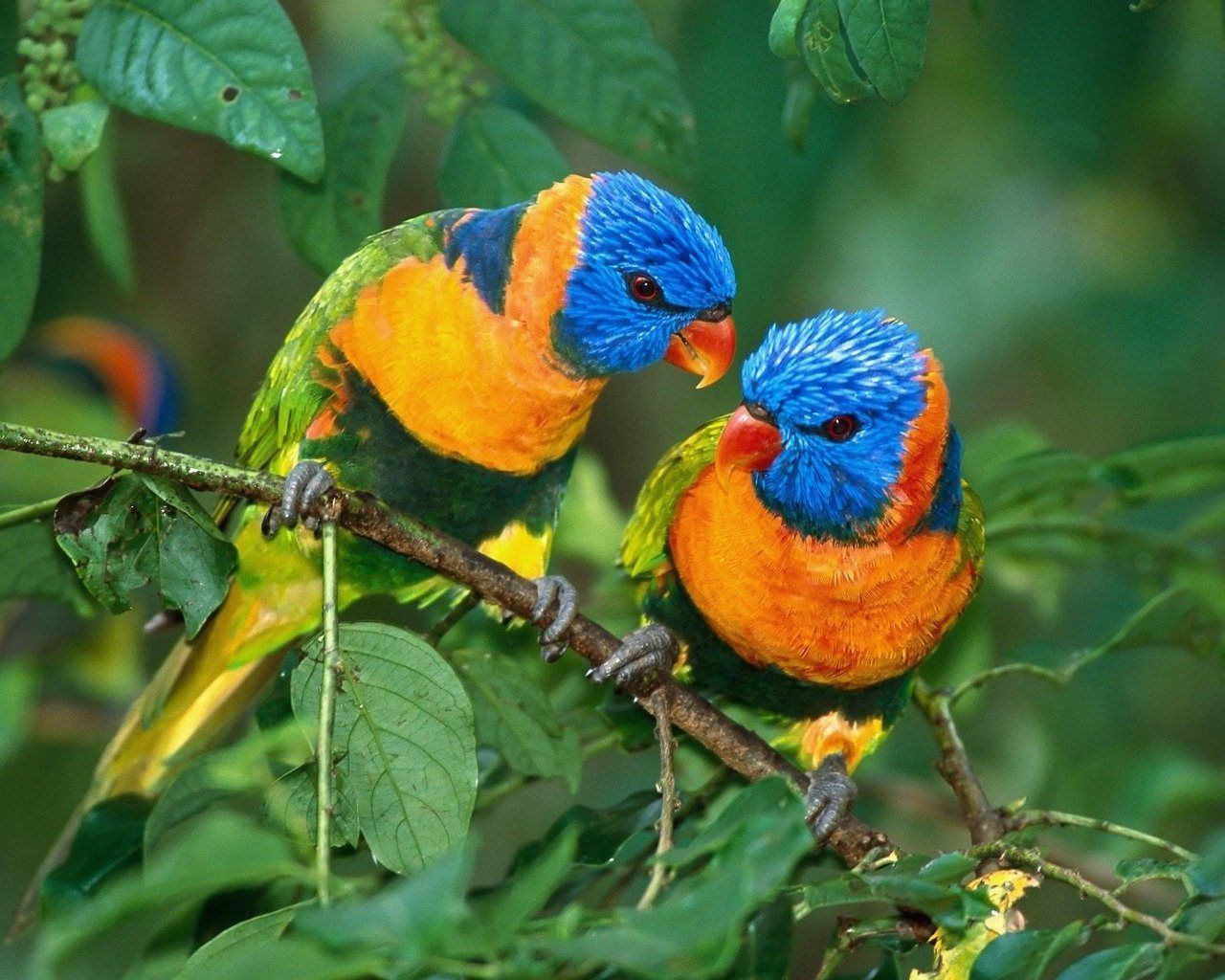 Love Birds Pictures Cute Lovebird Wallpapers In Hd Beautiful Bird Wallpaper Most Beautiful Birds Rare Birds