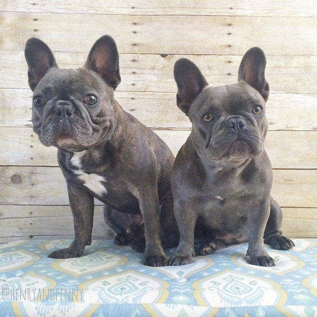 17 Things Only Frenchie Pup Parents Understand Pr Canine