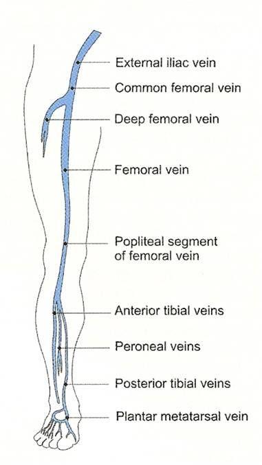 Lower Extremity Vascular Anatomy Human Anatomy Pinterest
