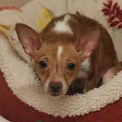 Cleo is an adoptable Chihuahua Dog in Naperville, IL. Cleo came to ADOPT in January of 2013 from Naperville Animal Control. She was born around July of 2010 and, at 7 lbs 6 oz., could stand to gain a...