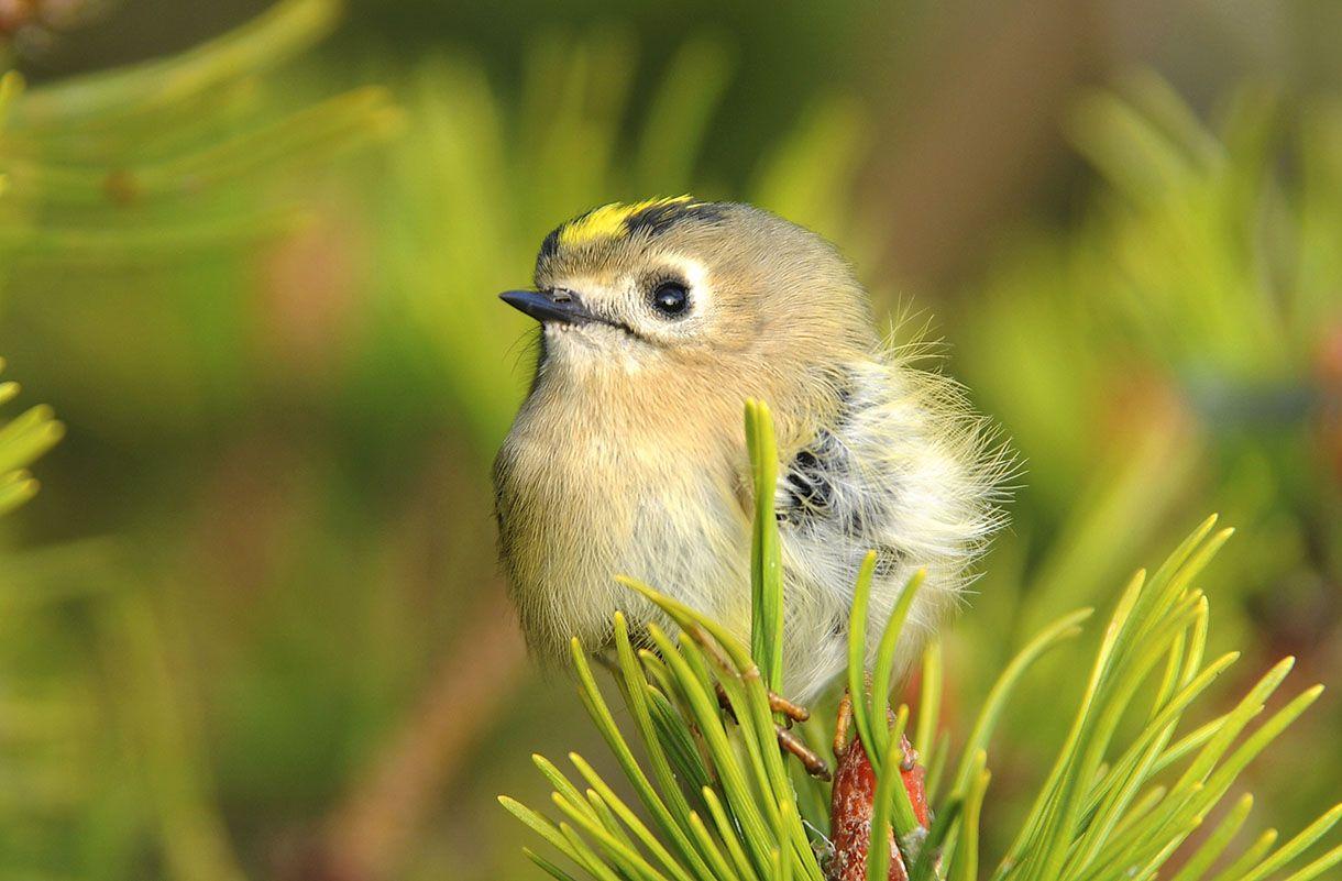 Le roitelet hupp petits oiseaux la plume et tout petits for Oiseau ventre jaune