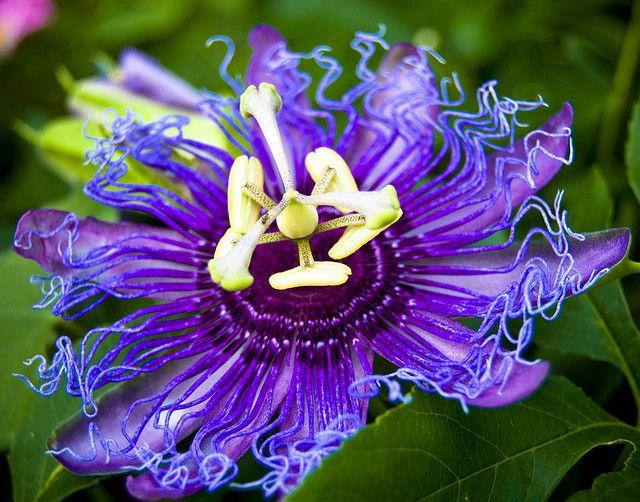Purple Passion Flower Purple Passion Flower Types Of Purple Flowers Passion Flower