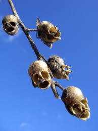 skull plant (?) - dried seed pods of snapdragon