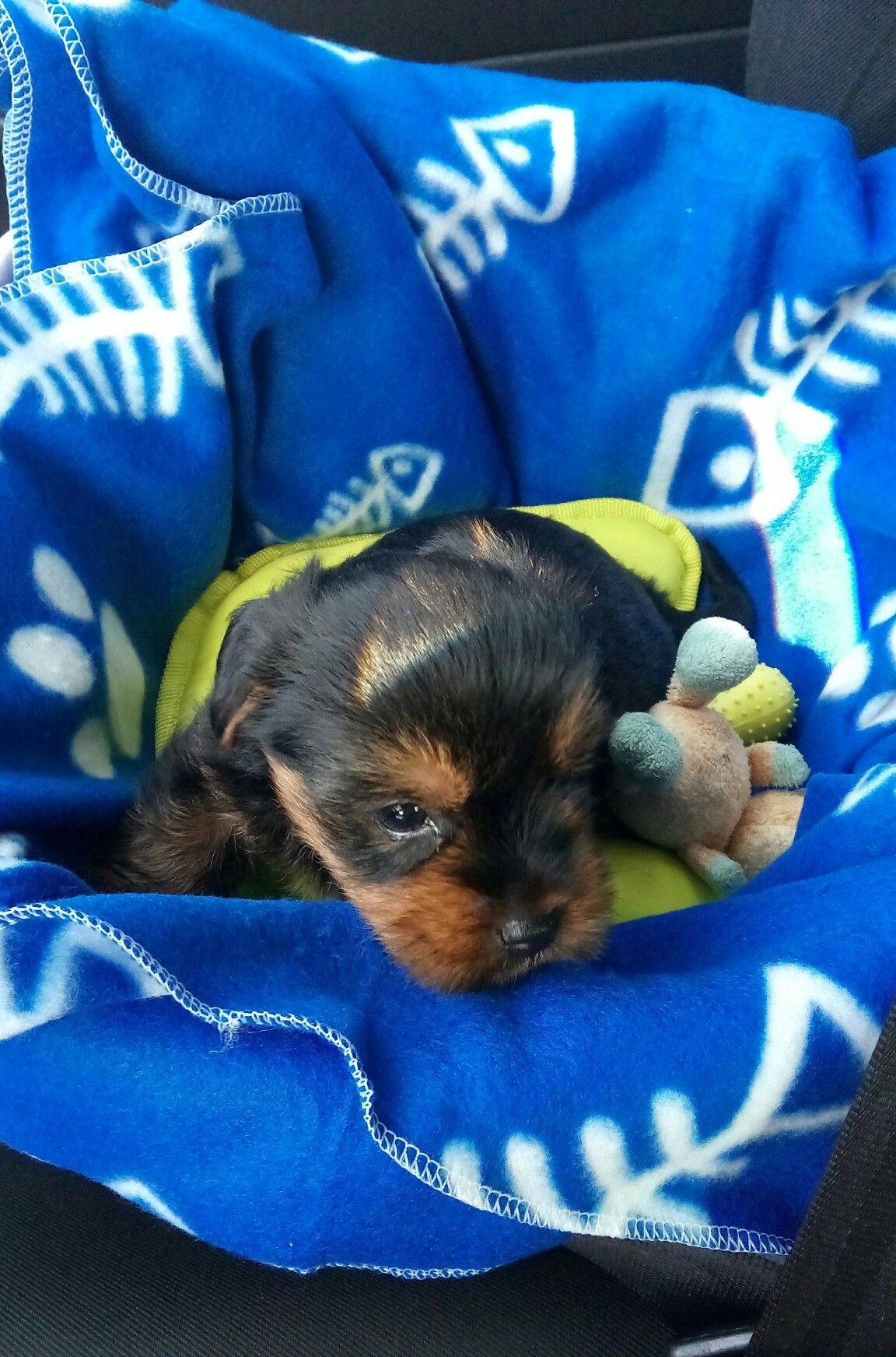 Pin By Kim Myatt On Toby Pomeranian Puppy Puppies Bulldog