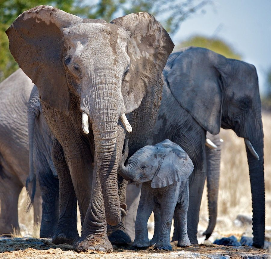 Elders Protection By Buck Shreck On 500px Elephant Elephants