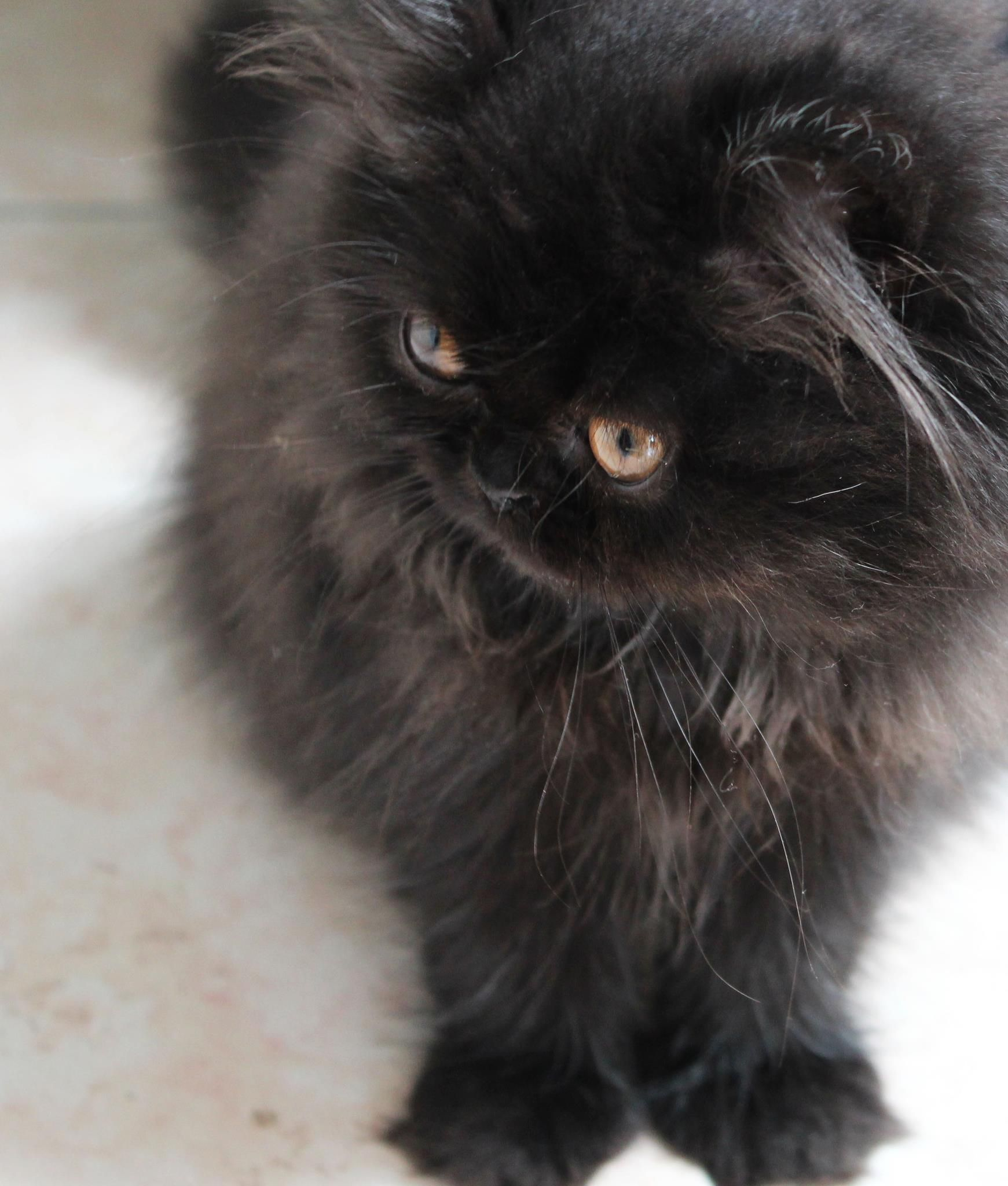 Persian cat Hava_baby ! My love.