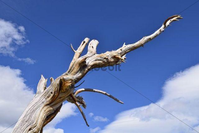 Long-living Great Basin Bristlecone Pine (Pinus longaeva) dead tree Bristlecone Pine Forest Mt. Goliath Natural Area Mt. Evans Scenic Byway Idaho Springs Colorado USA