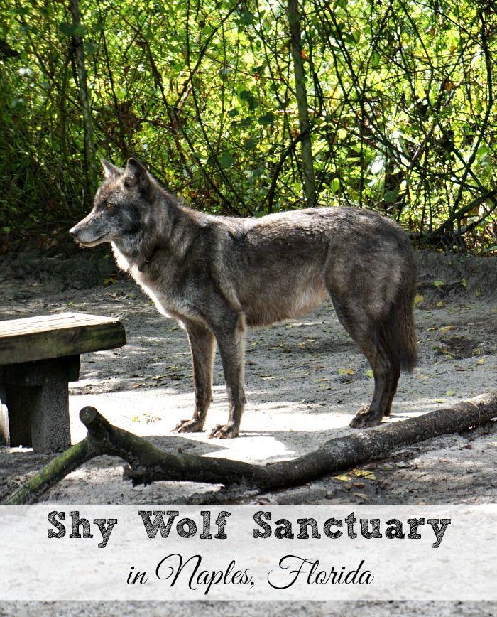 Blue Fawn Wolf Dog Wolf Dog Cute Animals Bengal Cat