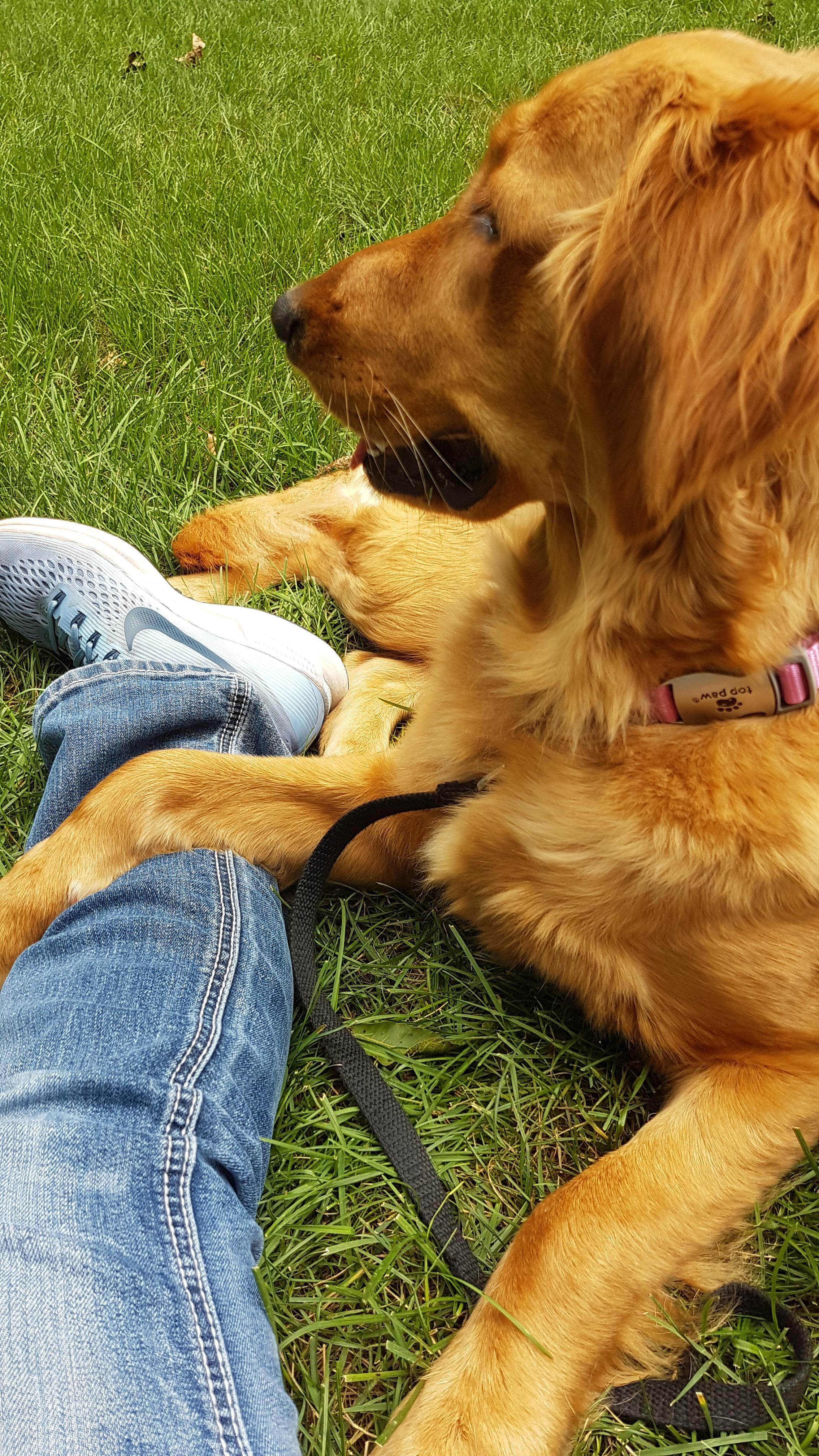 Untitled Dog training videos, Golden retriever, Dogs
