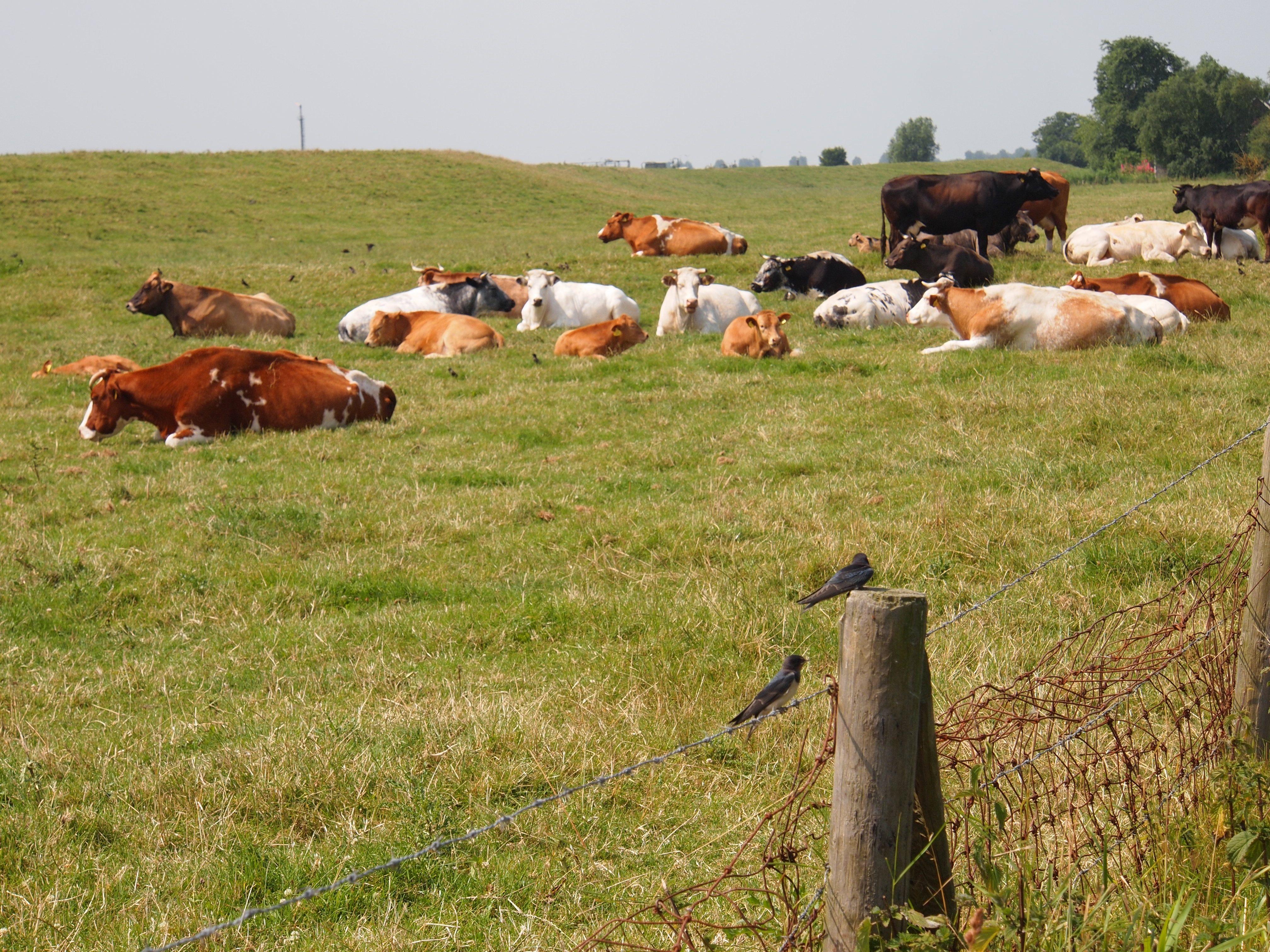 Koeien en zwaluwen op de dijk bij Warffum. Gr. Holland