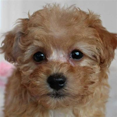 Havapoo Puppy For Sale In Boca Raton South Florida Havapoo Puppies Puppies Puppies For Sale