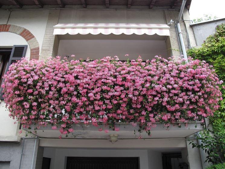 Fioritura gerani Gerani, Fiori da balcone, Giardino di fiori