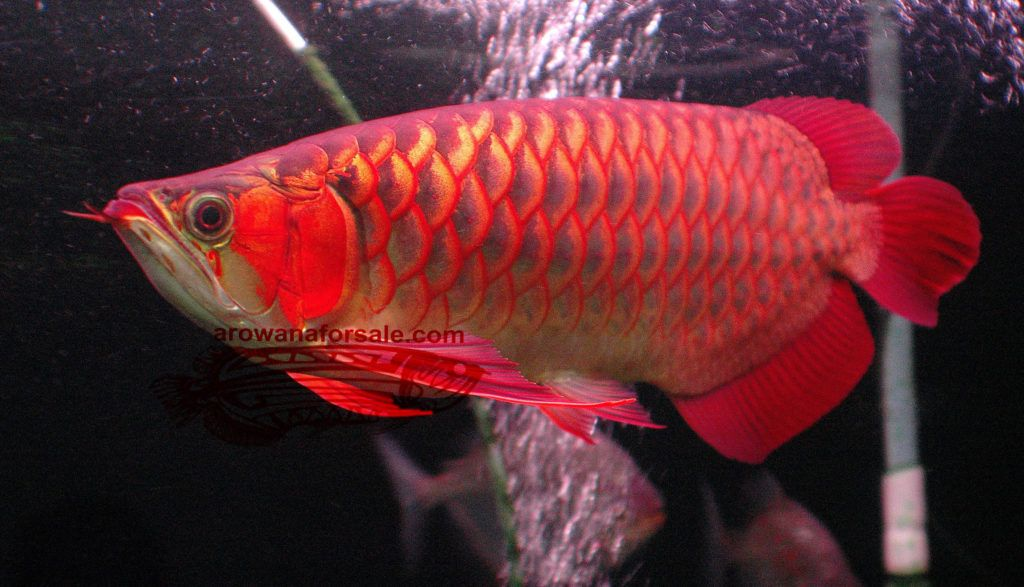 Chili Red Arowana - Arowana For Sale in 2020 | Fish for sale, Stingray fish, Fish