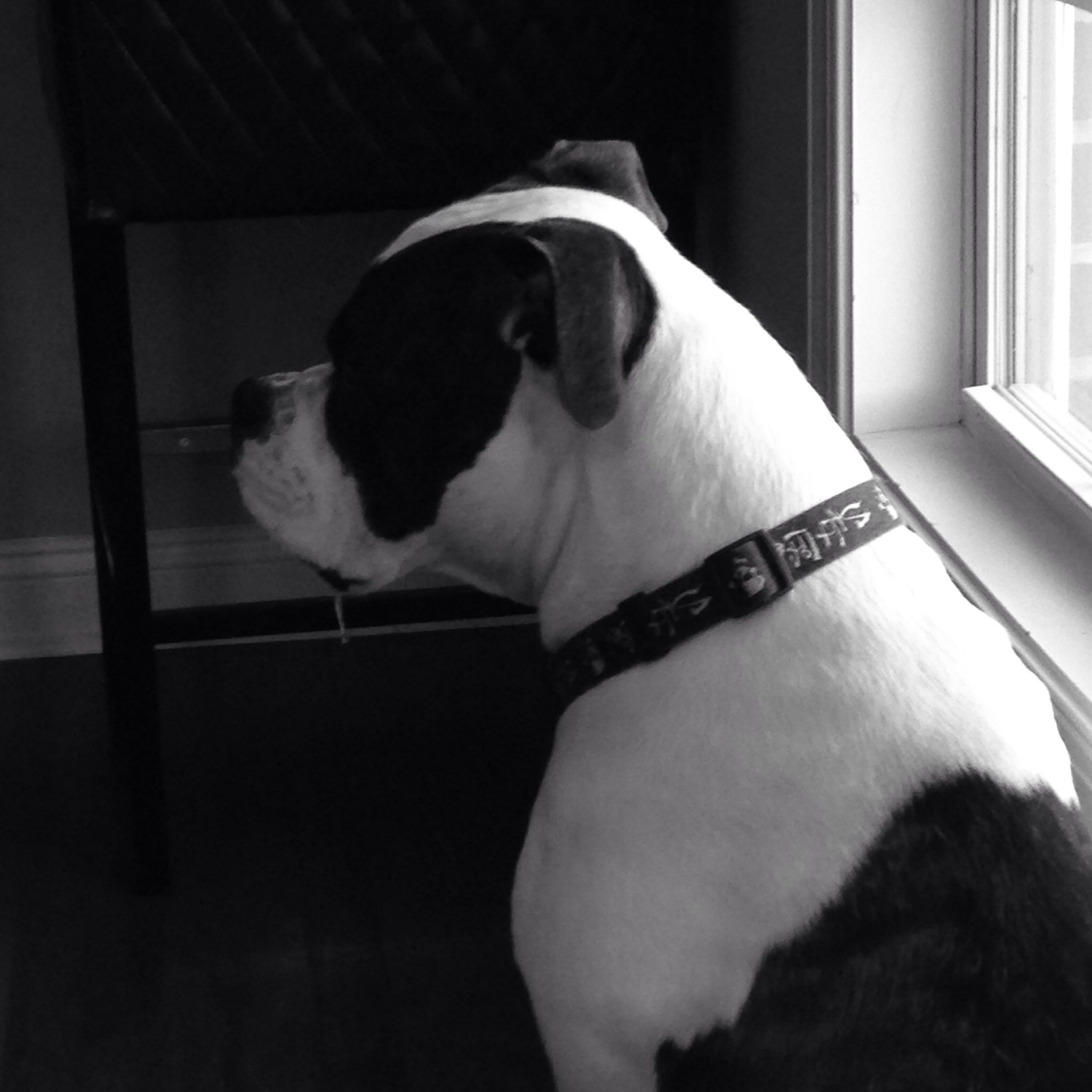 Murphy The American Bulldog 2 Yrs Old Addie Dogs I Love Dogs