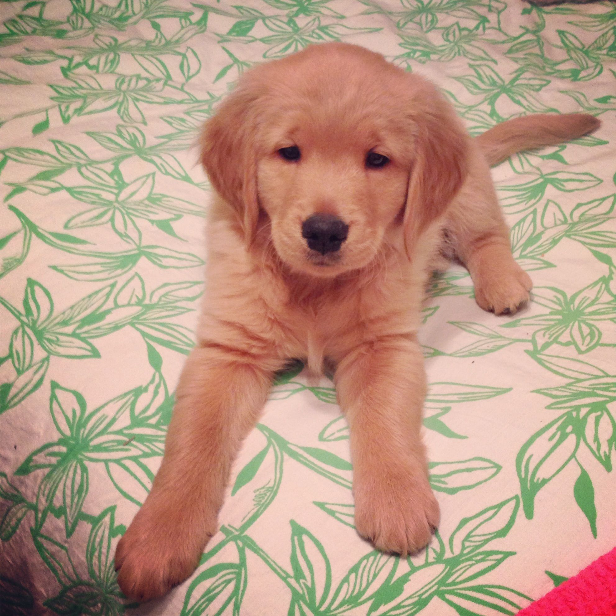 My Golden Retriever Puppy So Cute Dogs Dogs Puppies Cute