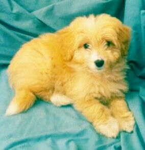 Pin By Trish B Ok On Craig S Wishlist Cute Animals Puppies Bordoodle