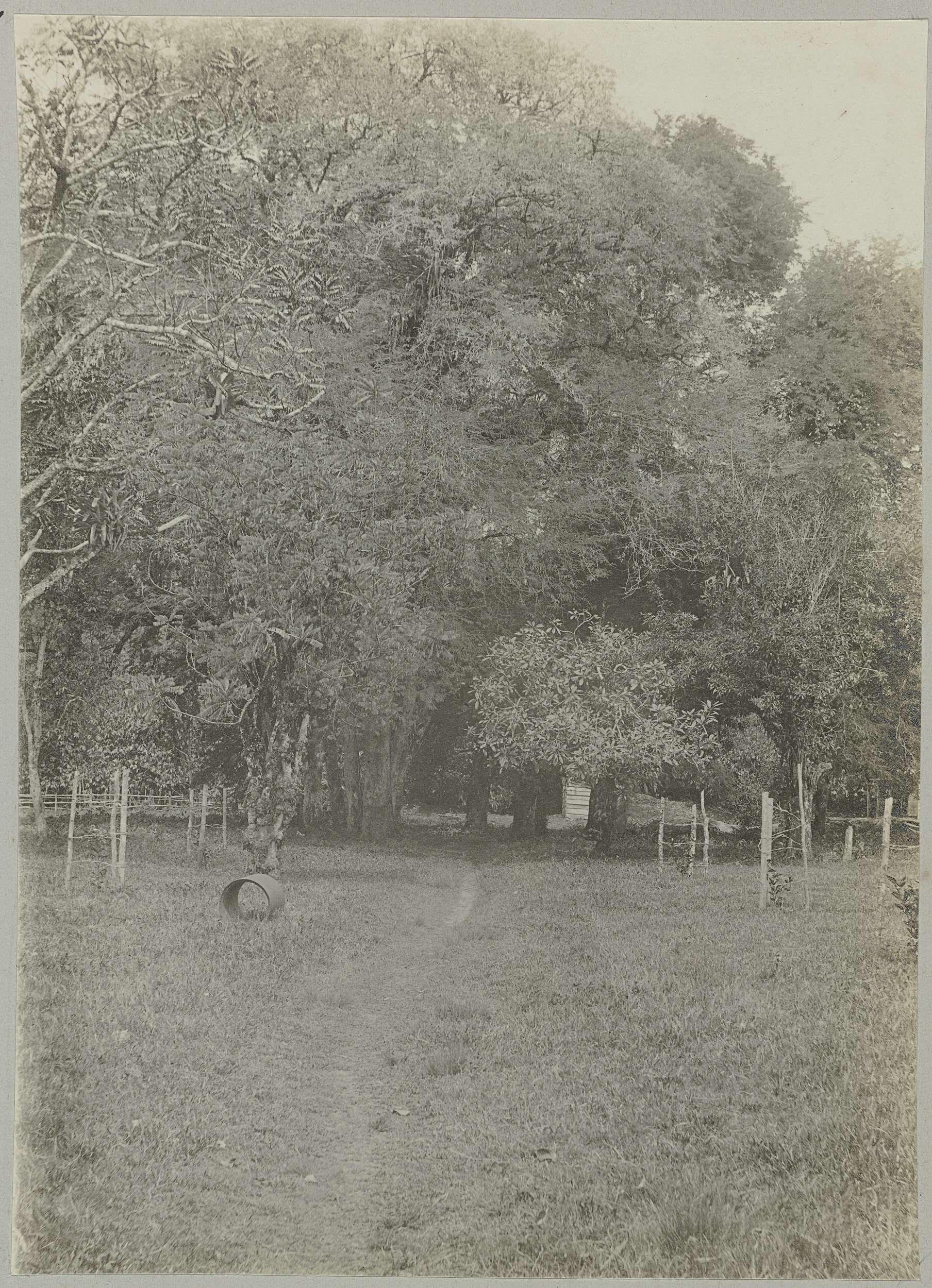 anoniem | Tamarindegroepen op Tourtonne, attributed to Hendrik Dooyer, 1906 - 1913 | Groepen hoge tamarindebomen op de plantage Tourtonne. Onderdeel van het fotoalbum Souvenir de Voyage (deel 2), over het leven van de familie Dooyer in en rond de plantage Ma Retraite in Suriname in de jaren 1906-1913.