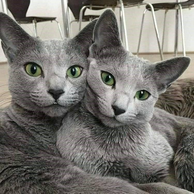 Https Www Facebook Com Dougmarkproductions Russian Blue Cool Cats Pretty Cats