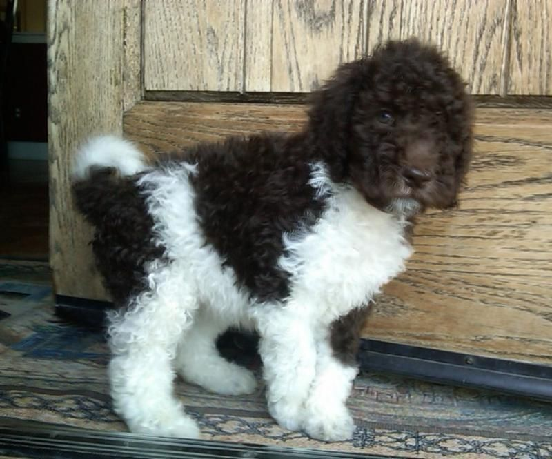 Black And White Parti Goldendoodles