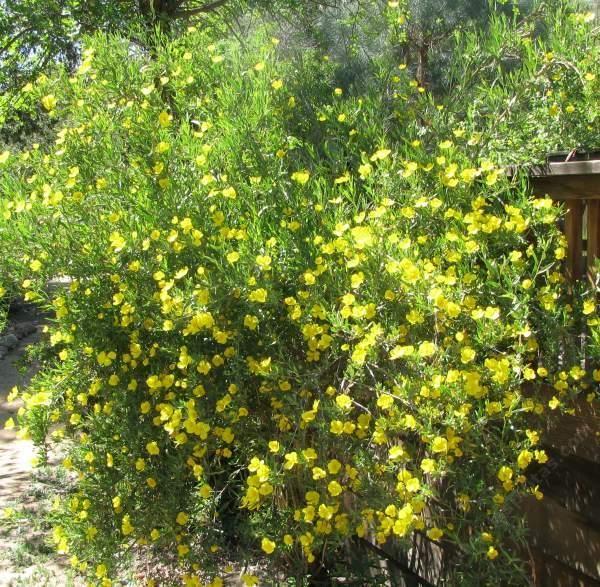 Dendromecon rigida bush poppy an evergreen shrub normally for Tall evergreen shrubs