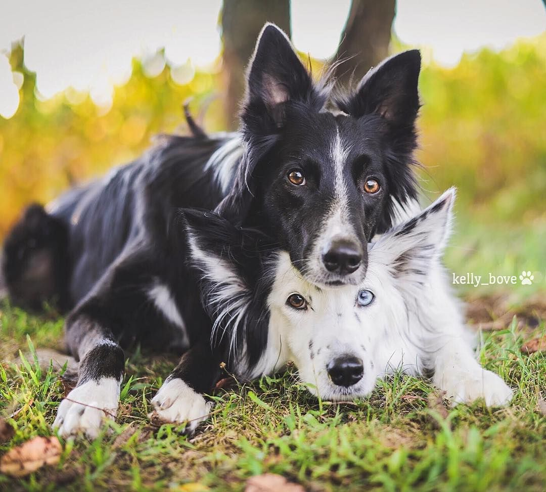 Envy Zain Two Rescue Border Collies Living Life In Pa Dogs