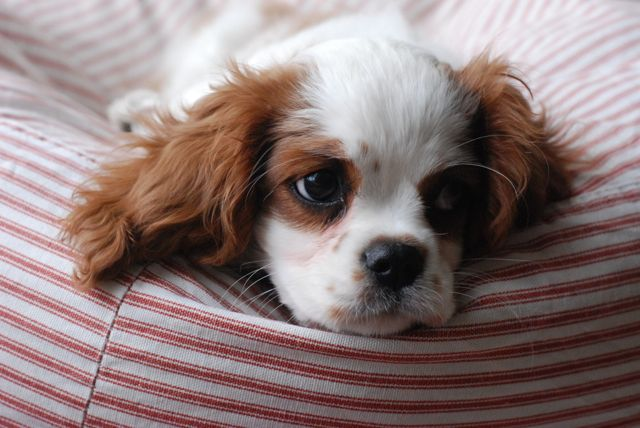 Nilly At 3 Months Old Cute Animals King Charles Spaniel Cavalier King Charles Spaniel