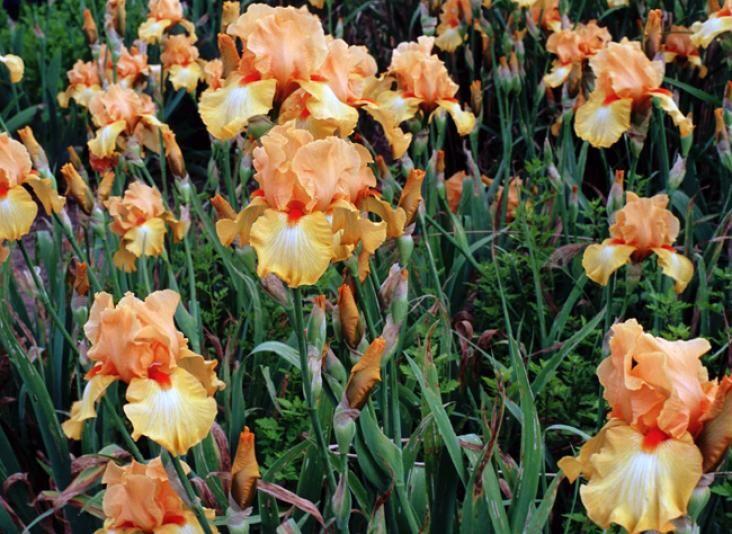 vivace bulbes ou rhizomes les iris jardin iris. Black Bedroom Furniture Sets. Home Design Ideas