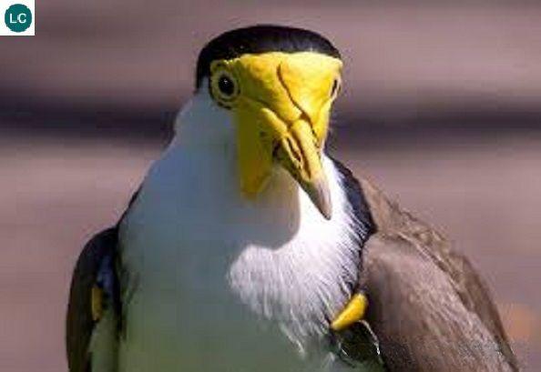 https://www.facebook.com/WonderBirds-171150349611448/  Te mặt nạ; Họ Choi choi-Charadriidae; châu Úc    Masked lapwing/plover (Vanellus miles) IUCN Red List of Threatened Species 3.1 : Least Concern (LC)(Loài ít quan tâm)