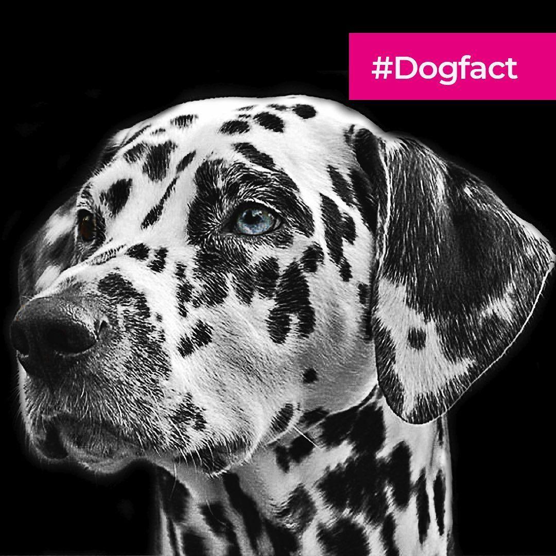 Dogfact Wusstest Du Schon Gepunktete Uberraschung Die Welpen Von Dalmatinern Kommen Weiss Zur Welt Und Entwickeln Ihr Gepunktetes Fe Animals Dogs Horses
