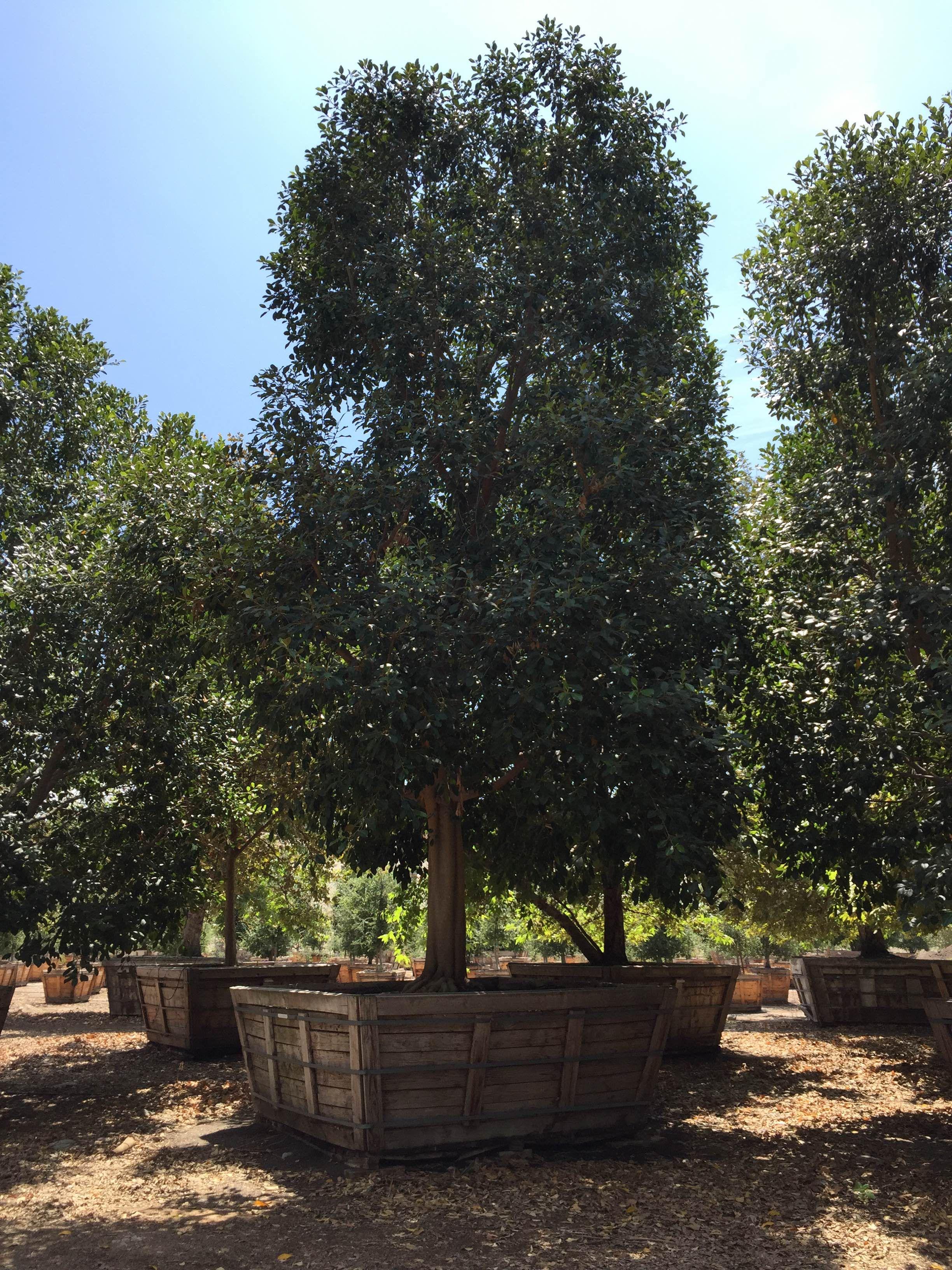 Ficus tree for your garden garden landscape design
