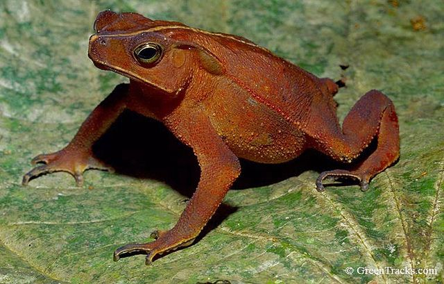 Rhinella dapsilis on Flickr. source-The GreenTracks Naturalist Snouted Toad (Rhinella dapsilis). Toads have a lot of personality. This rare ...