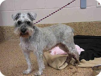 Miniature Schnauzer Dog For Adoption In Springfield Massachusetts O Hara Kitten Adoption Dog Adoption Pets