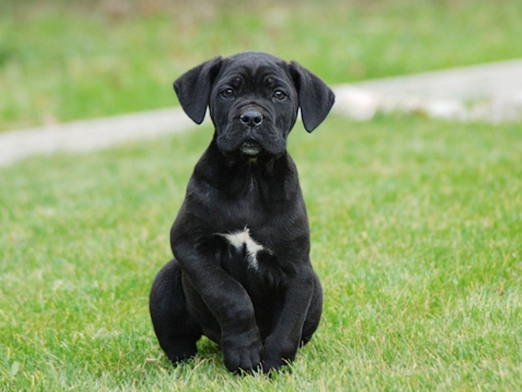 Cane Corso Cane Corso Cane Corso Puppies Puppies